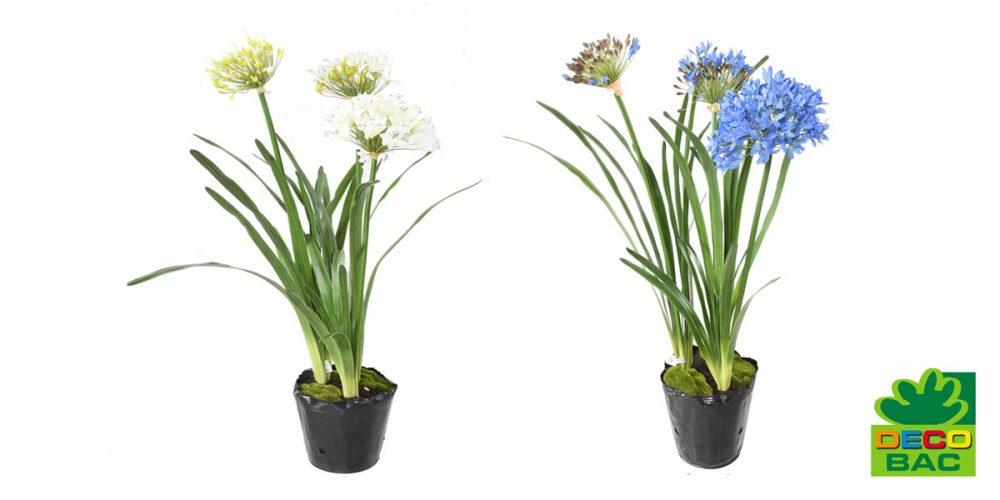 Nouvelles agapanthes bleues et blanches, un air de Bretagne à la maison !