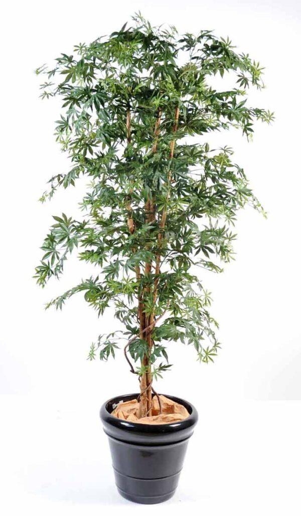 aralia new vert 1 1