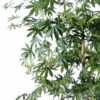 aralia new vert 3 1
