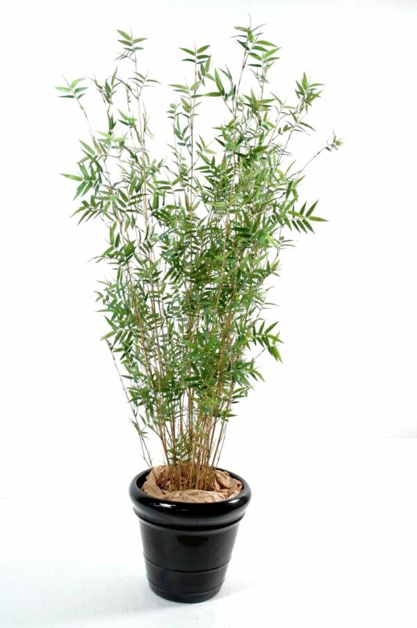 bambou multitree oriental 1 1