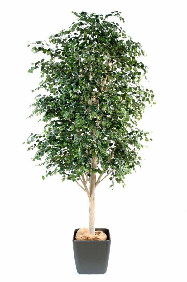 bouleau arbre 1 1