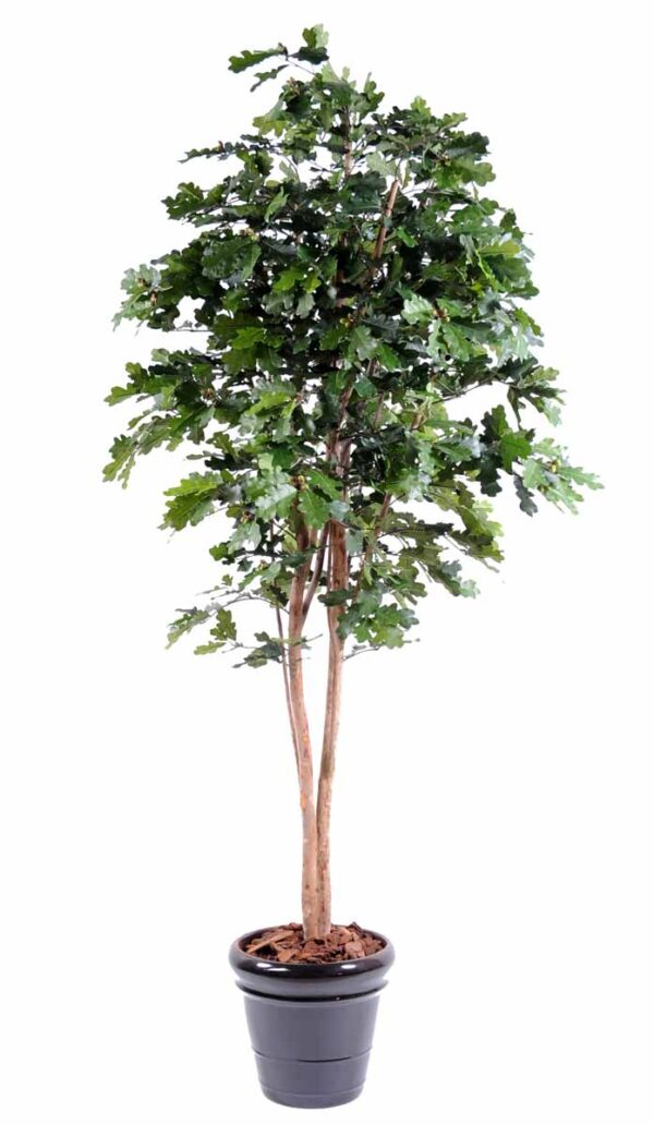 chene n tree 1 1
