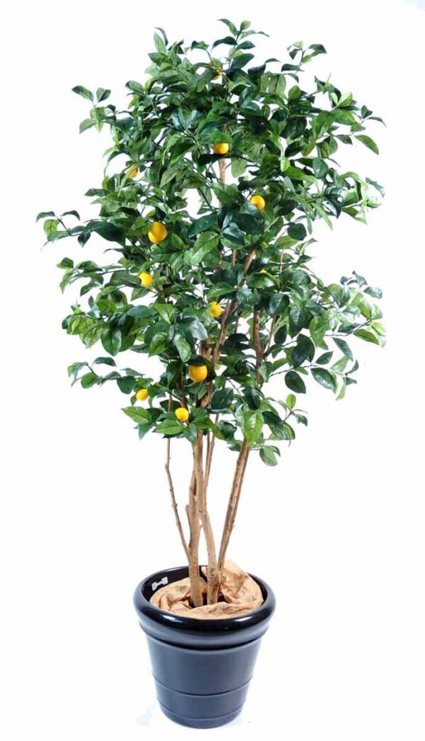 citronnier new 1 1
