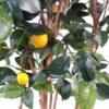 citronnier new 2 1
