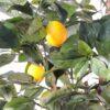 citronnier new 3 1
