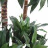 dracena artificiel fragrans 3 1