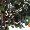 oranger arbre 3 1