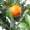 oranger new 3 1