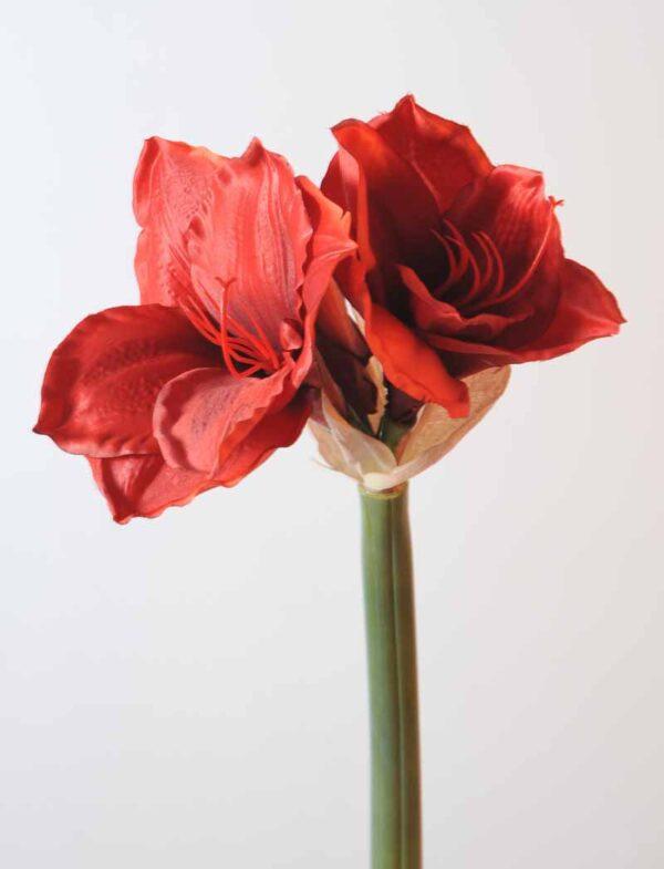 amaryllis tige rouge 11 1