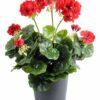 plante artificielle geranium rouge 1 1