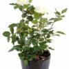 plante artificielle rosier royal blanc 3 1