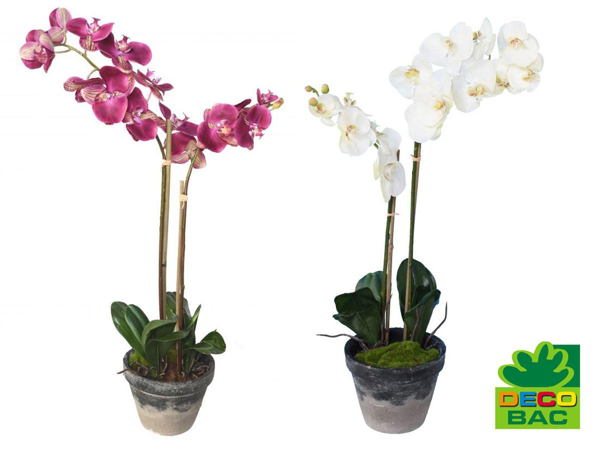 info orchidee phalaenopsis 1 1